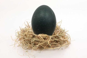 Huevos de Emu, el más autentico