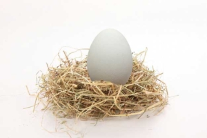 Huevo de oca en nido paja